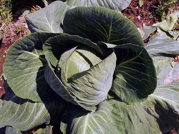 Капустные растения – капуста