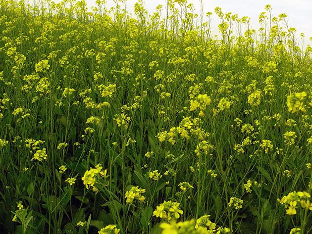 Капустные растения – горчица
