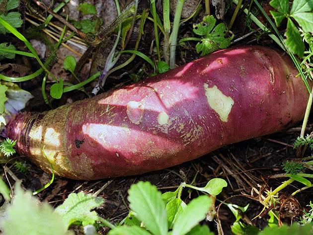 Капустные растения – брюква