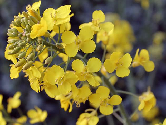 Капустные растения – рапс