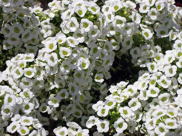 Капустные растения – алиссум