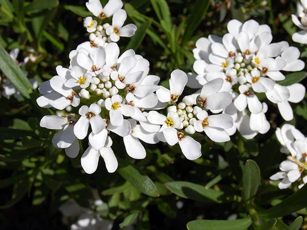 Капустные растения – иберис