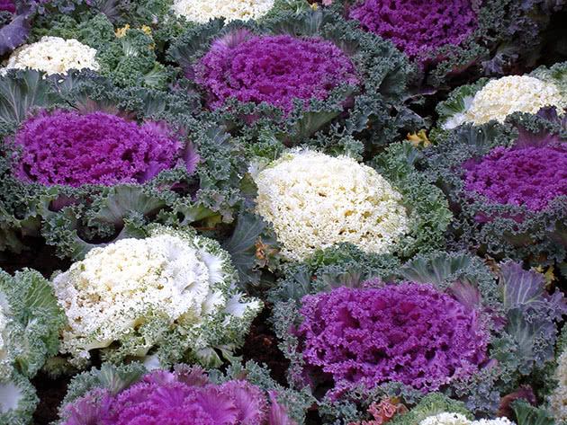 Капустные растения – декоративная капуста