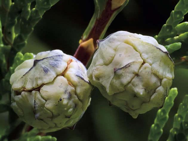 Плоды кипарисовика
