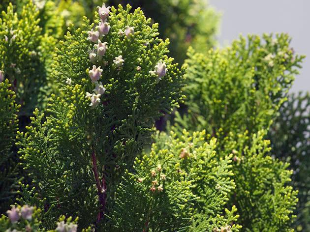 Дерево кипарисовик