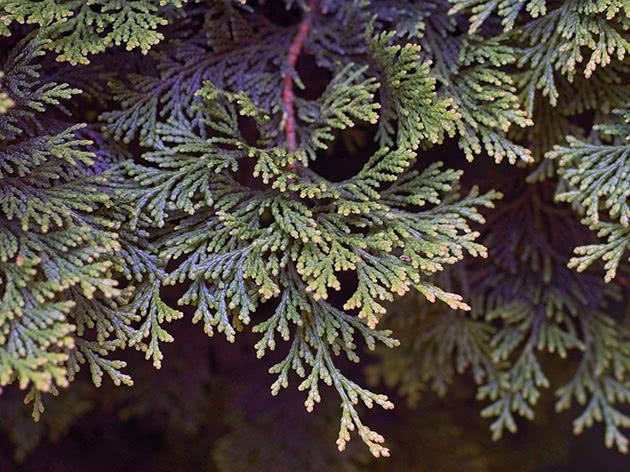 Выращивание кипарисовика