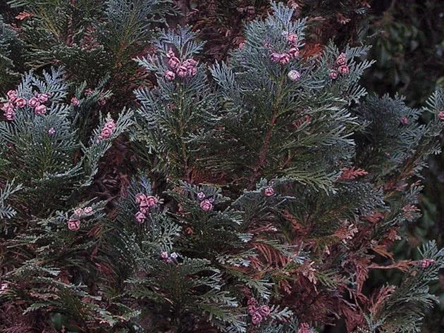 Кипарисовик Лавсона / Chamaecyparis lawsoniana
