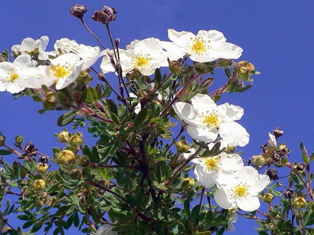 Квіти перстач