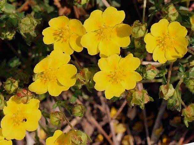 Цвітіння рослини перстач