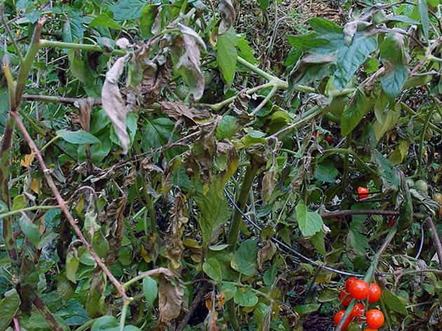 Як лікувати фітофтору помідорів