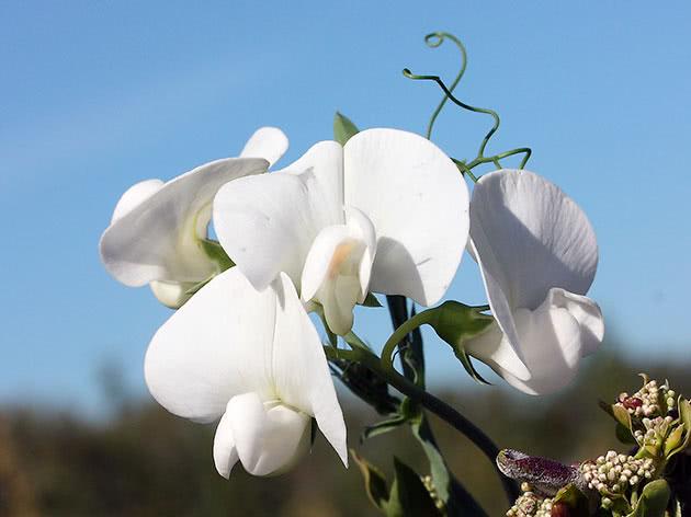 Цвітіння запашного горошку на ділянці