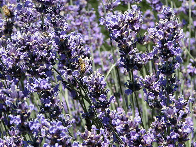 Planting and care for lavender in the garden