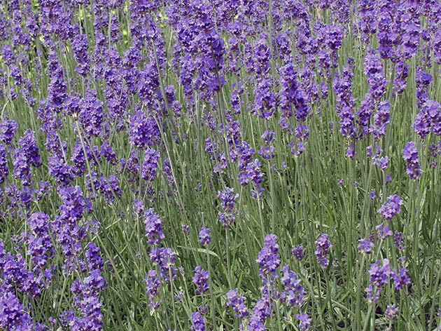 How to plant and care for lavender
