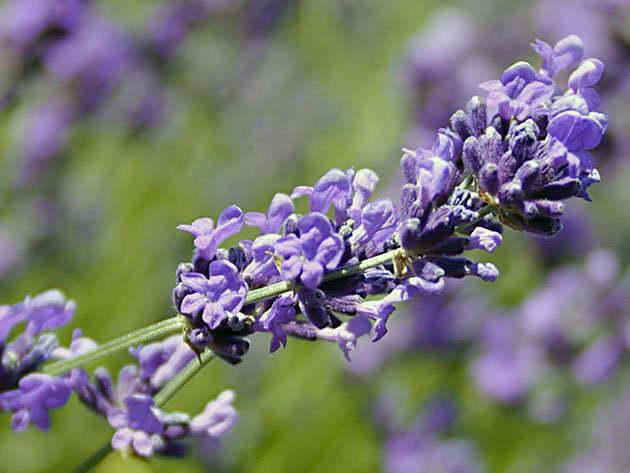 Care after lavender flowered