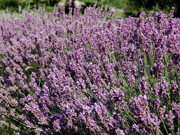 Growing and propagation of lavender