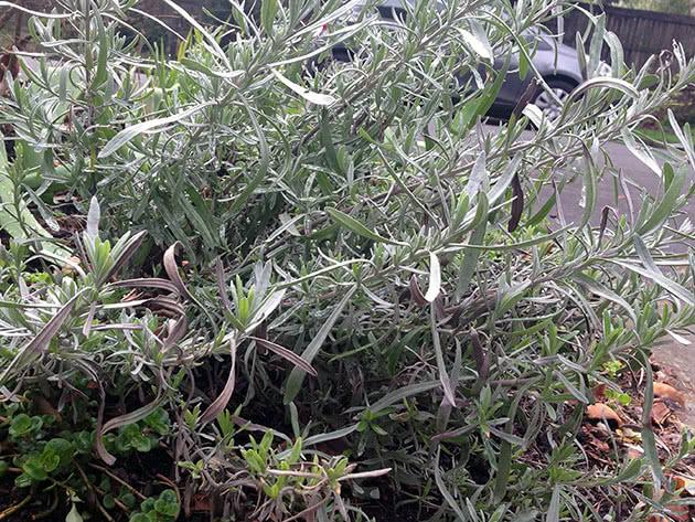 Hybrid lavender (Lavandula x intermedia)