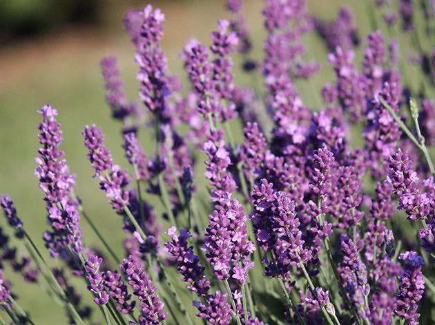 Narrow leaved lavender (Lavandula angustifolia)