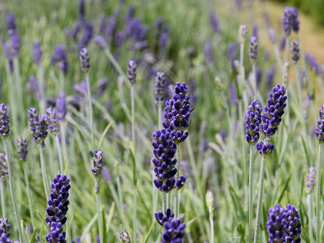 Lavender healing properties and contraindications