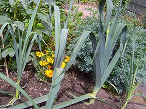 Посадка и выращивание лука-порея