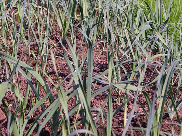 Выращивание и уход за луком-пореем