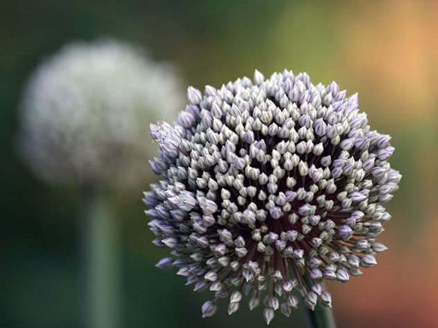 Цветение лука-порея на огороде
