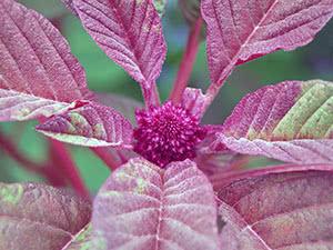 Лекарственные садовые растения
