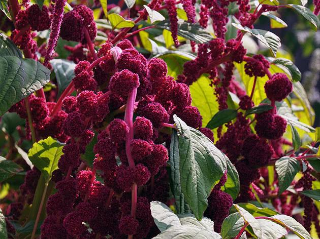 Лекарственное растение амарант