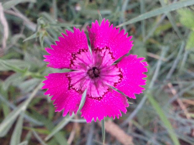 Лекарственное растение гвоздика