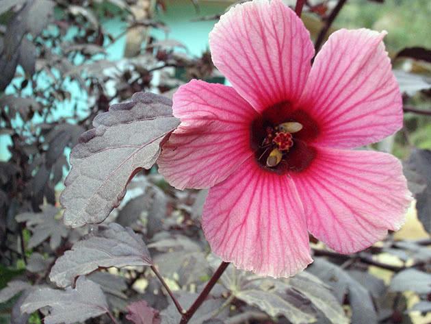 Лекарственное растение гибискус
