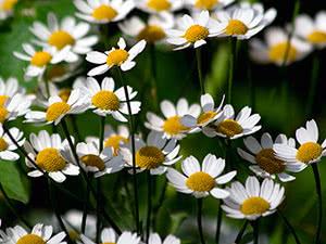 Лекарственные садовые цветы
