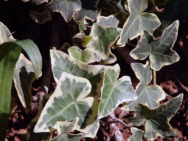Лікарська рослина плющ