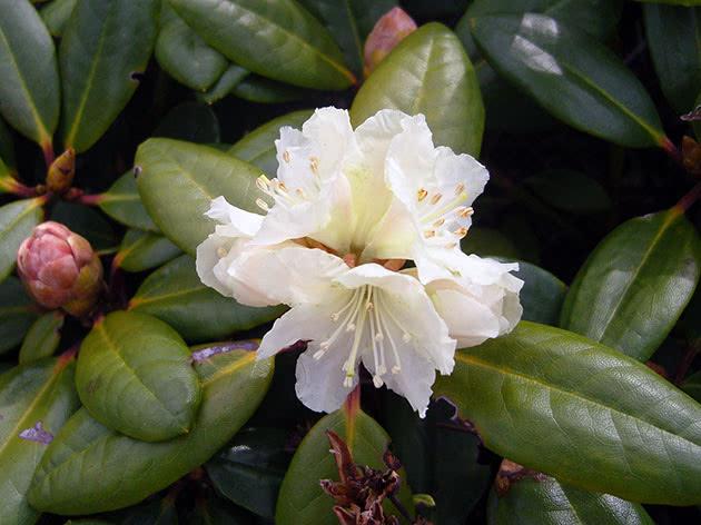 Лікарська рослина рододендрон
