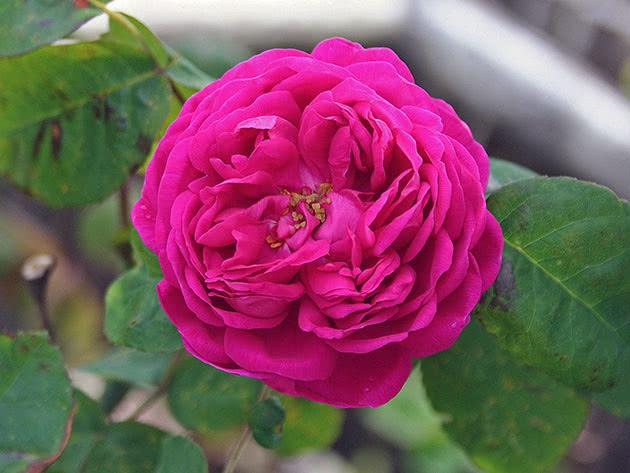 Лікарська рослина троянда