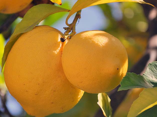 Вирощування лимона з кісточки
