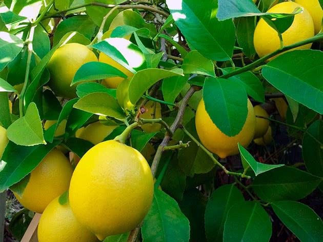 Плодоносний домашній лимон