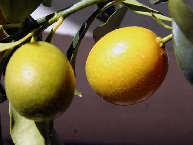 Посадка лимона і догляд за ним у домашніх умовах