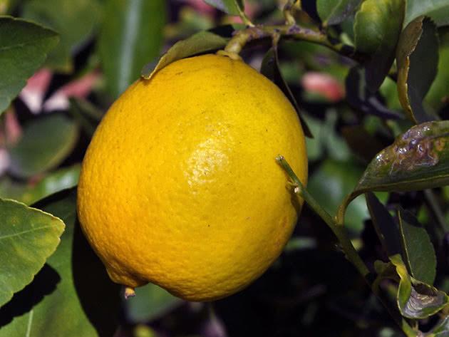 Як виростити лимон у домашніх умовах