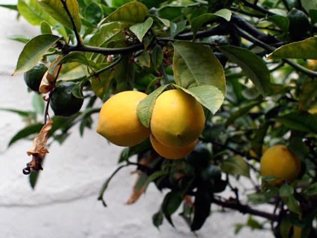 Кімнатний лимон – вирощування з кісточки