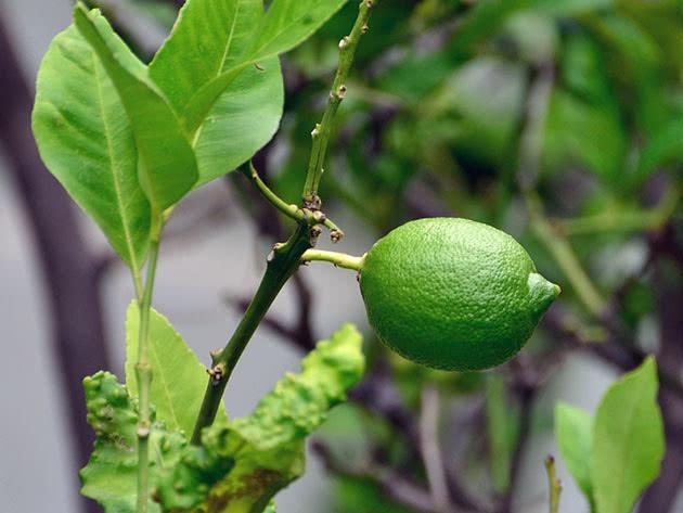 Незрілий домашній лимон на гілці