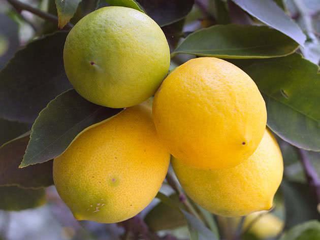 Урожай лимонів у домашніх умовах