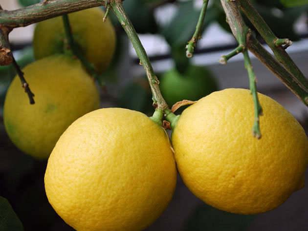 Посадка лимона в домашніх умовах і догляд
