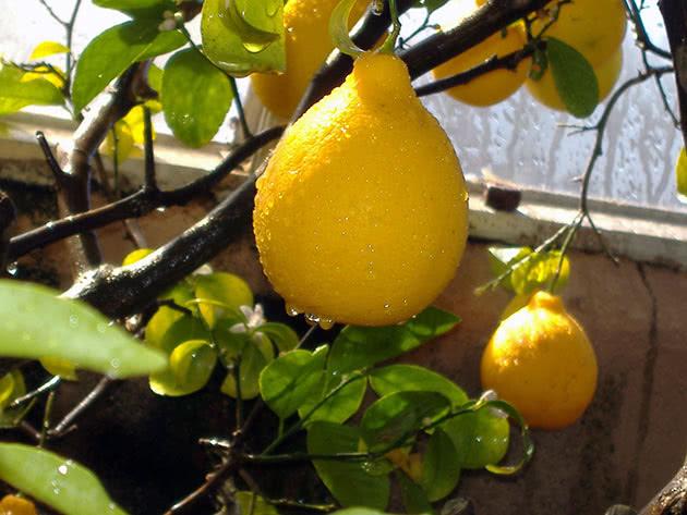 Вирощування лимона на підвіконні