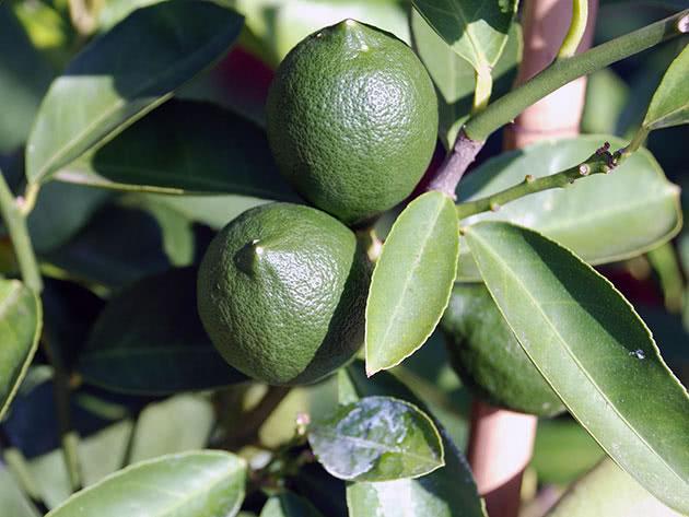 Зелені лимони на гілці вдома