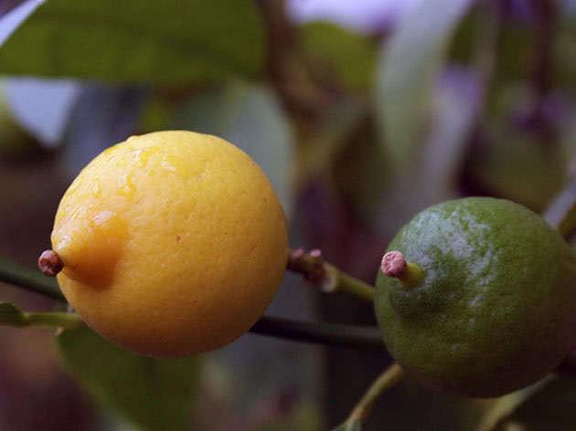 Посадка і догляд за лимоном в домашніх умовах