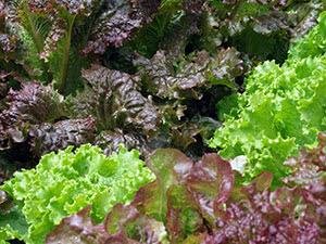 Растение салат латук