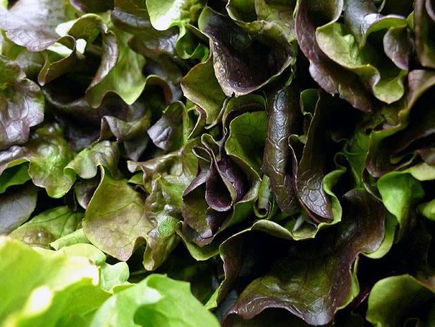 Выращивание салата латук