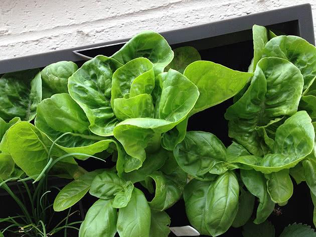 Как сажать и ухаживать за салатом