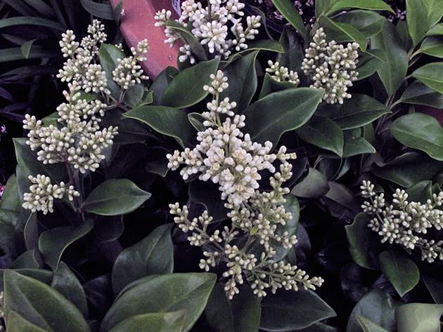 Квітка бирючина в саду
