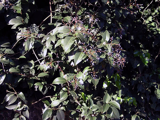 Бирючина блискуча / Ligustrum lucidum