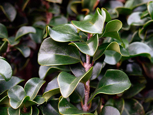 Бирючина японська / Ligustrum japonicum